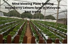 Beautiful Genting Strawberry Leisure Farm is a family place Genting Strawberry Leisure Farm, come appreciate new strawberries at this well known vacation spot in Genting Highlands. Genting Highland Malaysia, Genting Highlands, Strawberry Garden, Mind Blown, Vacation Spots, Dreaming Of You, Around The Worlds, Strawberries, Places