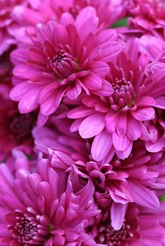 Fall Chrysanthemums ATTRACTS:  Monarch Butterflies. plant with Downy Hawthorn Tree which attracts Red Headed Woodpeckers.