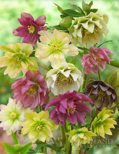 Double Queen Hellebores sometimes called Lenten Rose or Christmas Rose