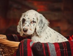 Winter basket of love. English Setter puppy. Pet portrait. Photography. www.pouka.com