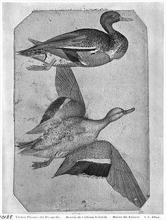 ducks by pisanello
