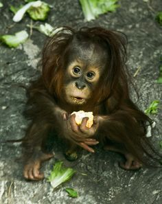 Nairi, the baby orangutan, Birmingham Zoo Baby Gorillas, Baby Orangutan, Sumatran Orangutan, Cute Baby Animals, Animals And Pets, Funny Animals, Animal Babies, Los Primates, Cute Monkey