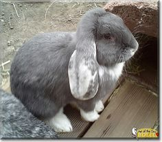 Cute Grey Lop Dwarf