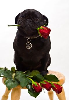 Romantic pug will be your date this Valentine's Day!