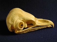 Barn Owl Skulls Models Replicas for sale at www.SkeletonsAndSkullsSuperstore.com