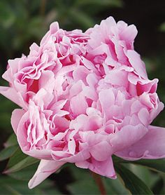 Sarah Bernhardt Peony, gorgeous pale pink and spectacular.