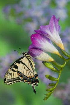 Easter Tiger Swallowtail Butterfly, photograph by:  Darrell Gulin