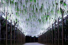 Ghé thăm xứ sở hoa tử đằng mộng mơ và nên thơ ở Nhật Bản - Ảnh 23.