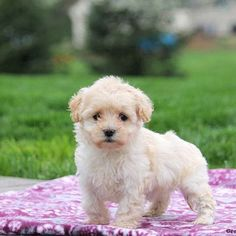 Coton de Tulear Mix puppies for sale! The Coton de Tulear mixed breed can be a cross between the Coton de Tulear and another dog breed. Poodle Mix Breeds, Poodle Mix Puppies, Maltese Puppies For Sale, Dog Breeds, Maltese Dog Breed, Maltese Mix, Puppy List, Greenfield Puppies, Adoptable Beagle