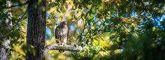 Hawk Watch - Hawk Watch