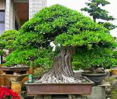 Ficus Forum - Friends Bonsai - Page 26