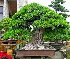 Ficus Forum - Friends Bonsai - Page 26
