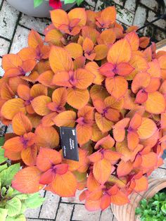 Coleus Campfire. Not in my garden.
