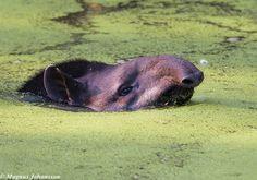 South American Tapir swimming  by magnus.johansson10