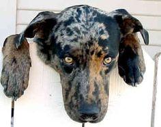 Carahoula leopard dog   Catahoula Leopard Dogs - Dogs - Wayman Wynn
