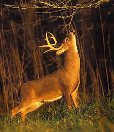 White-tailed Deer Hunting - Know Their Senses