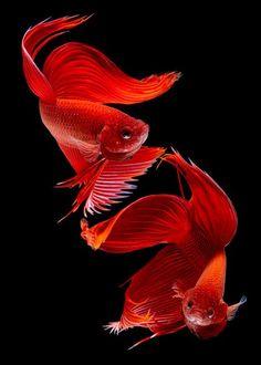 beautiful types of betta fish with amazing pictures - vanessa foster - Colorful Fish, Tropical Fish, Beautiful Fish, Animals Beautiful, Betta Fish Types, Fauna Marina, Carpe Koi, Beta Fish, Siamese Fighting Fish