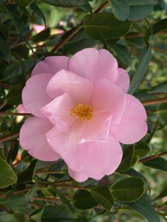 Taylor's Perfection Camellia is a handsome shrub with leathery, dark green foliage that backs a profusion of exquisite light pink, large, semi-double blooms. A prized plant for milder regions. Mid to late season bloomer. Evergreen. Zone 8-10