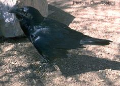 "Have always loved crows!  Crow is also the guardian of ceremonial magic and healing. In any healing circle, Crow is present. Crow guides the magic of healing and the change in consciousness that will bring about a new reality and dispel ""dis-ease"" or illness. You can rest assure when ever crows are around, magic is near by and you are about to experience a change in consciousness. Crow can give you the courage to enter the darkness of the void, which is the home of all that is not yet in…"