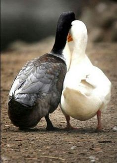 OMG...This could be Nicks ducks.