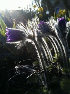 Pasque Flowers( 25/03/12) afternoon light