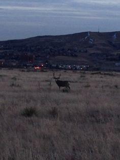 Un ciervo enorme pasando tiempo en frente de Coleman HQ.