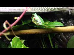 Red Eyed Tree Frog ( Agalychnis callidryas ) - YouTube