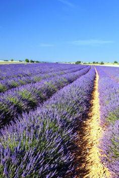 lavender ~ provence