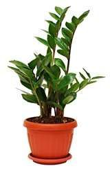 Easy to grow and low light house plants. See ZZ Plant – Zamioculcas Zamiifolia H… - House Plants Garden Plants, Indoor Plants, House Plants, Bulb Flowers, Flower Pots, Zz Plant Care, Online Plant Nursery, Plantas Bonsai, Low Light Plants