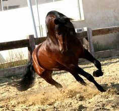 Andalusian horse, also known as the Pure Spanish Horse or PRE (Pura Raza Española) Horse Photos, Horse Pictures, Cool Pictures, Horses And Dogs, Wild Horses, Most Beautiful Animals, Beautiful Horses, Beautiful Things, Andalusian Horse