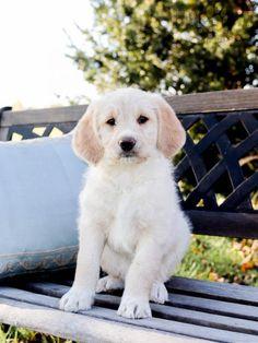 #PoodleMix #Charming #PinterestPuppies #PuppiesOfPinterest #Puppy #Puppies #Pups #Pup #Funloving #Sweet #PuppyLove #Cute #Cuddly #Adorable #ForTheLoveOfADog #MansBestFriend #Animals #Dog #Pet #Pets #ChildrenFriendly #PuppyandChildren #ChildandPuppy #LancasterPuppies www.LancasterPuppies.com Animals Dog, Cute Animals, Apricot Standard Poodle, Poodle Mix Puppies, Golden Labrador, Lancaster Puppies, Labrador Retriever Mix, Puppy Eyes, Puppies For Sale