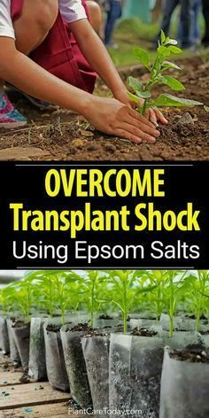 Plants often experience transplant shock when moving from a small container to a bigger one, use epsom salt to overcome transplant shock [LEARN MORE] #GardeningIdeas