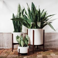 Yesterday's post generated a lot of questions about the big white planter with the wooden stand, and so we wanted to give you a closer look at our newest line of ceramics - Case Study. The perfectly proportioned white stoneware cylinders come with matching wood stands that elevate the plants off the ground or table top. Starting with five sizes of these guys - pricing at the link in profile! In other news, can you believe that big sansevieria specimen? Such wide, speckled leaves!