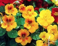 Nasturtium plants are cheerful yellow, orange, and sometimes red flowers. Nasturtium plants are very easy to grow, and low maintenance plants.