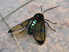 Angled view of Clearwing Moth
