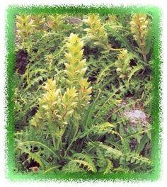 Foto van Acanthus hirsutus, Nederlands: acanthus, (Synoniem  ) behorende tot de plantengroep Vaste Planten