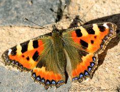 Nokkosperhonen Forest Plants, Weird Things, Forest Animals, Butterflies, Tattoos, Spring, Beautiful, Insects, Birds