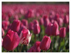 Tulipes roses à La Torche Plomeur © Paul Kerrien - Toilapol | Finistère Bretagne