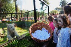 """Los tres cachorros de tigre de bengala blancos que nacieron en enero en el Zoo porteño ya tienen sus nombres, elegidos por sorteo entre miles de propuestas de chicos de todo el país. El macho se llama Erwan, para recordar a un nene fallecido que era amante de los tigres. Las hembras desde ahora se llaman Lupita -la más dominante- y Sol la más tranquila. Los chicos que los bautizaron ahora serán sus """"padrinos"""" y podrán visitarlos cuando quieran. (Zoo de Buenos Aires)"""