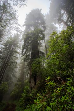 The astonishing old-growth California Redwood forest offers potential views of White-headed  Woodpeckers, roving flocks of Cassin's Finches, or gangs of perky Mountain Chickadees.~ Home of the birds!