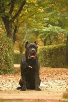 Our next mastiff breed we plan to get besides our Dogo's and BB's, a cane corso mastiff Cane Corso Breeders, Cane Corso Puppies, Cane Corso Italian Mastiff, Cane Corso Mastiff, Big Dogs, I Love Dogs, Dogs And Puppies, Beautiful Dogs, Animals Beautiful