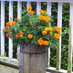 Marigolds planted in an old butter barrel.