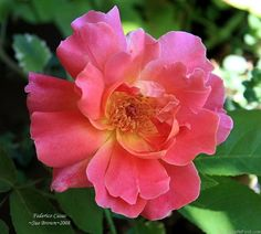'Federico Casas ' Rose Photo