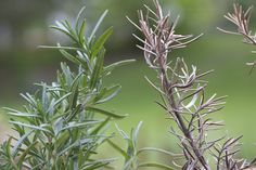 Although rosemary plants are easy to grow, they are not without faults. Perhaps you have noticed a white powder on your rosemary plants in your kitchen. If so, you are not alone. This article will explain more.