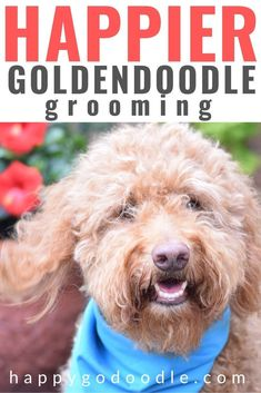 Are you a Goldendoodle mom searching for ways to maintain all that Goldendoodle fluff and floof? Here are four tips (and the grooming tools) that make brushiing and grooming your Goldendoodle a happier experience for both you and your Goldendoodle. Goldendoodle Haircuts, Goldendoodle Grooming, Puppy Cut, Dog Health Tips, Dog Grooming Supplies, Best Brushes, Doodle Dog, Happy Dogs, Dog Care