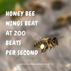Bee wings beat at 200 strokes per second. Honey bees fly well and carry heavy loads of pollen and nectar. Facts For Kids, Fun Facts, Honey Bee Facts, Bee Quotes, Work Quotes, Bee Wings, Raising Bees, Buzzy Bee, Bees And Wasps