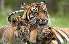 tiger endangered