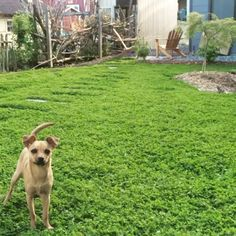 Idea, methods, along with resource with respect to receiving the greatest outcome as well as coming up with the optimum usage of Backyard Diy Landscaping No Grass Backyard, Small Backyard Landscaping, Landscaping Ideas, No Mow Grass, Natural Landscaping, Modern Backyard, Modern Landscaping, Backyard Ideas, Clover Lawn