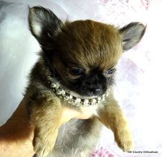 (The pictures above are past Hill Country Chihuahuas! The pictures below are puppies that are now in. Deer Chihuahua, Cute Chihuahua, Chihuahua Puppies, Pictures Of Chihuahuas, Love Pictures, Puppies For Sale, Adoption, Birds, Babies