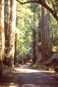 View of a trail leading through the forest at Armstrong Redwoods State Natural Reserve.   17000 Armstrong Woods Road  Guerneville, CA 95446